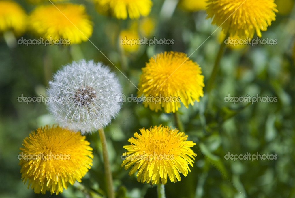 White dandelion among yellow dandelions — Стоковая фотография #1781834