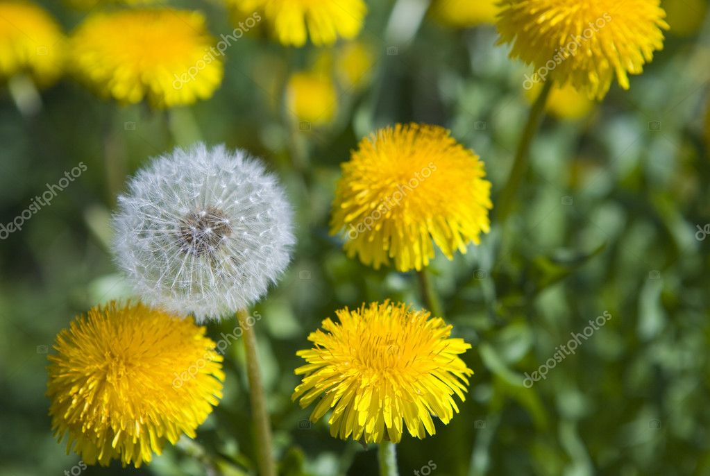 White dandelion among yellow dandelions — Foto de Stock   #1781834
