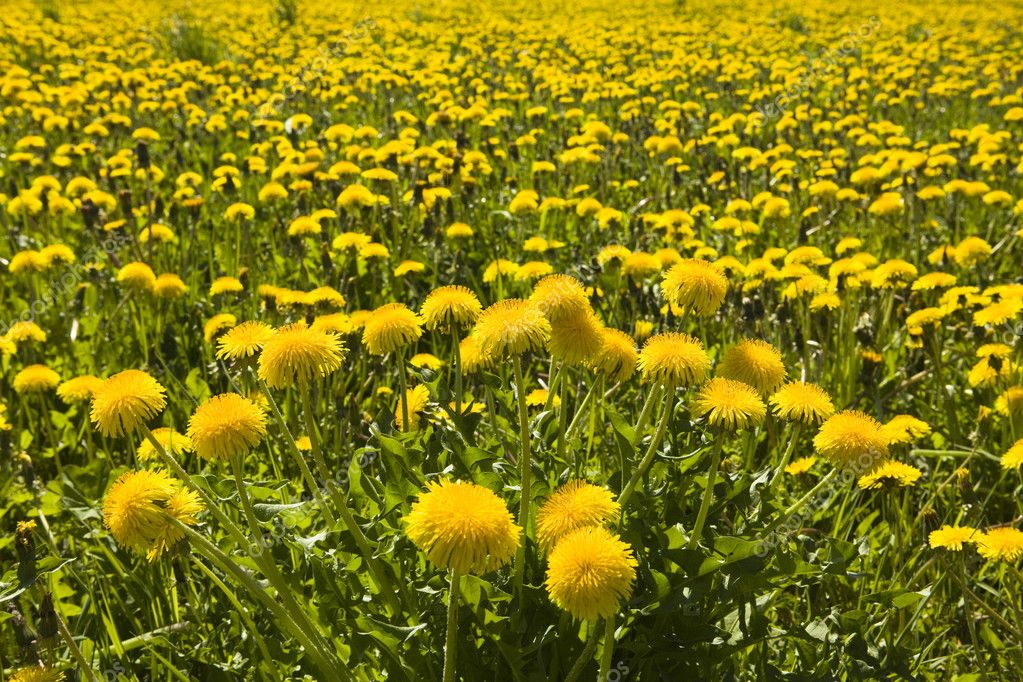Yellow dandelions in the meadow clear solar summer's day — Stock Photo #1781847