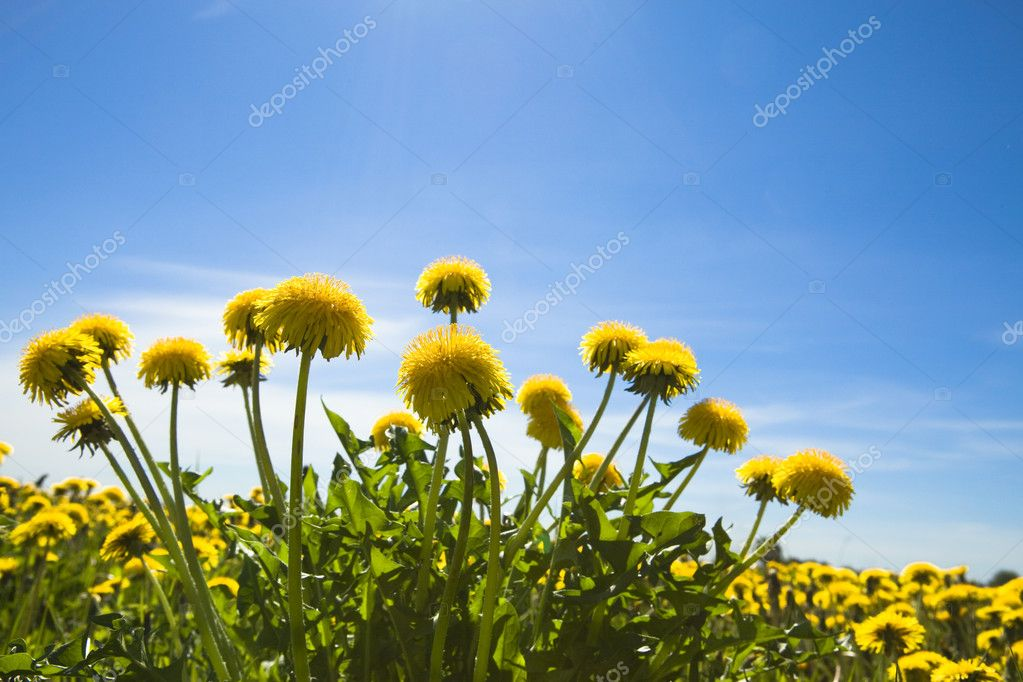 Yellow dandelions in the meadow clear solar summer's day — Stock Photo #1782040