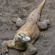 Huge monitor lizard on grey sand — Stock Photo