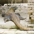 Royalty-Free Stock Photo: Komodo dragons