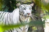 Portrait of a white tiger — ストック写真