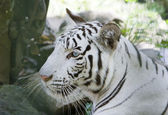 Portrait of a white tiger — Stock Photo