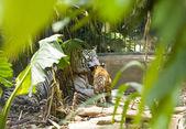 Tigress with cubs — Stock Photo