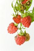 Berries of a fresh raspberry — Stock Photo