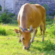 Cow in the meadow solar day - Stock Photo