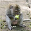 Long-tailed macaque champs apple - Stock Photo