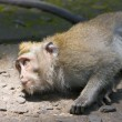 Long-tailed macaque — Stock Photo #1827040