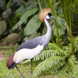 Southern Crowned Grey Crane Portrait — Stock Photo