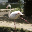 Stock Photo: Flamingo stands on one leg