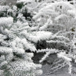 Snow-covered branches of tree - Stock Photo