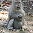 Stock Photo: Long-tailed macaque