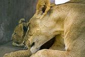 Leona con bebé de león — Foto de Stock