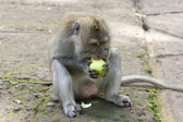 Long-tailed macaque champs apple — Stock Photo