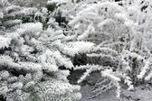 Snow-covered branches of tree — Stock Photo