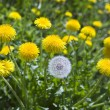Yellow dandelions — 图库照片