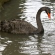 Black swan — Stock Photo #2195564