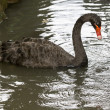 Stock fotografie: Black swan