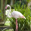 Flamingo stands — Stock Photo