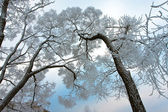 Snow-covered branches of tree on sky — Stock Photo
