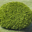 Bush of cypress — Stock Photo