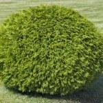 Bush of cypress — Stock Photo
