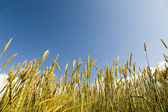 Ears of wheat on sky background — Stok fotoğraf