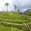 Kind on rice terraces, Bali, Indonesia - Stock Photo
