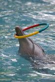 Delfin odgrywa kolor obręcz — Zdjęcie stockowe