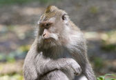 Long-tailed macaque — Stockfoto