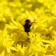 Yellow Flower with Insect - Stock Photo