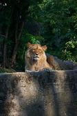 Portrait of a big male lion — Stock Photo