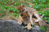Two young lions together — Stock Photo