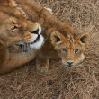 Lioness mother and her young - Stockfoto