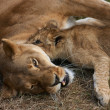 Lioness mother and her young — Stock Photo