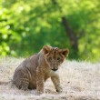 Close-up of a cute lion cub — Stock Photo #1791232