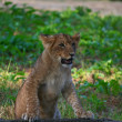 Close-up of a cute lion cub — Stock Photo #1791303