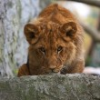 Close-up of a cute lion cub — Stock Photo
