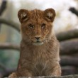 Close-up of a cute lion cub — Stock Photo #1791792