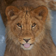 Close-up of a cute lion cub — Stock Photo #1791953