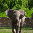 Stock Photo: Full body of AfricElephant