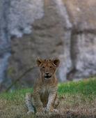 Close-up of a cute lion cub — Stock Photo