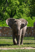 A full body of an African Elephant — Stock Photo
