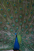 Beautiful male indian peacock showing — Stock Photo