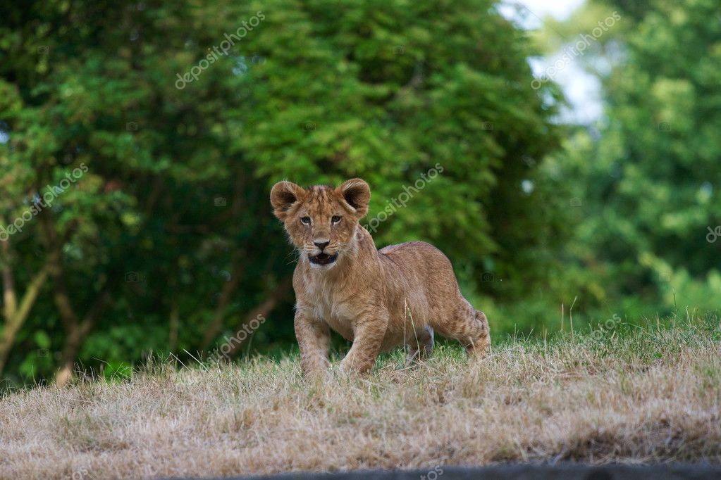 Close-up of a cute lion cub — Stock Photo #1790904