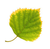 Birch leaf — Stock Photo