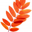Mountain ash - Foto Stock