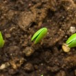 Stock Photo: Three small plant of soy