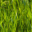Grass — Stock Photo #2174851